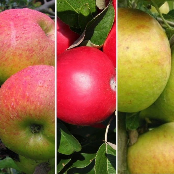 Family Apple Tree | Bramley Seedling, Cox Self Fertile & Scrumptious Apple
