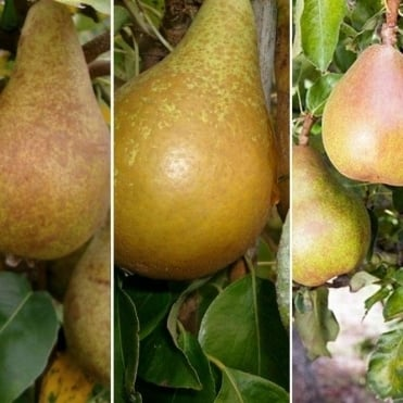 Multiple varieties pear tree