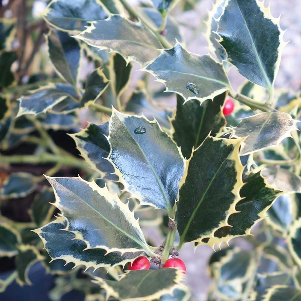Ilex aquifolium Argentea Marginata Silver Holly Tree in a 7 Litre Pot