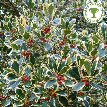Holly Trees Bushes Ilex For Sale Ornamental Trees Ltd