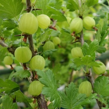 gooseberry hedges - 1000×1000