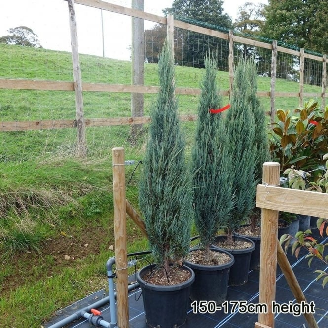 Juniperus scopulorum 'Blue Arrow' Conifer