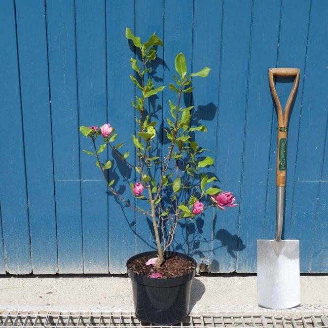 Magnolia Genie Dark Purple Magnolia Trees Shrubs For Sale