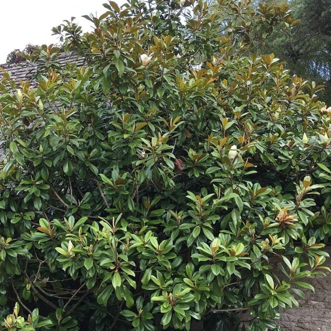 Mature magnolia tree