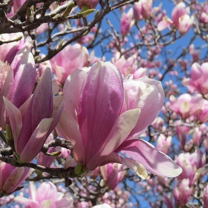Magnolia Jane Dwarf Pink Magnolia Trees Shrubs For Sale