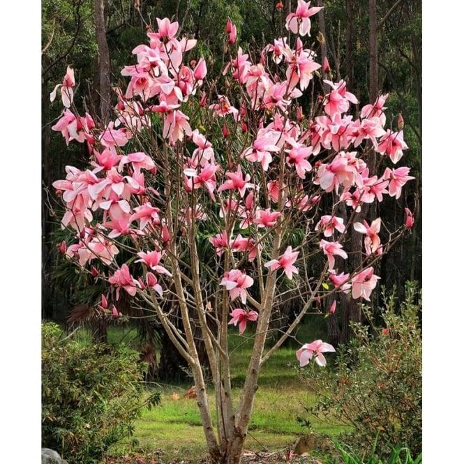 Magnolia Star Wars Buy Pink Flowering Magnolia Trees