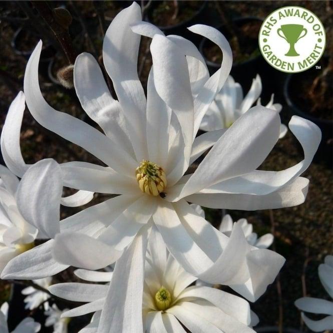 Magnolia stellata buy starry magnolia shrubs bushes magnolia stellata tree mightylinksfo