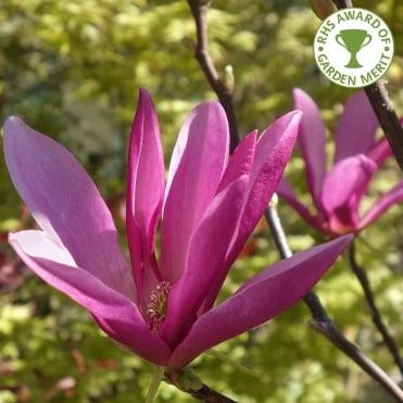 Blue purple flowering trees ornamental trees ltd magnolia susan tree mightylinksfo