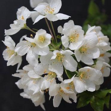 White Cream Flowering Trees Ornamental Trees Ltd