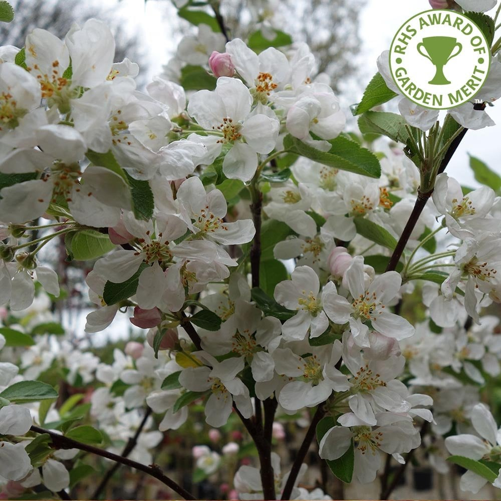 Malus Evereste Flowering Crab Apple Trees For Sale