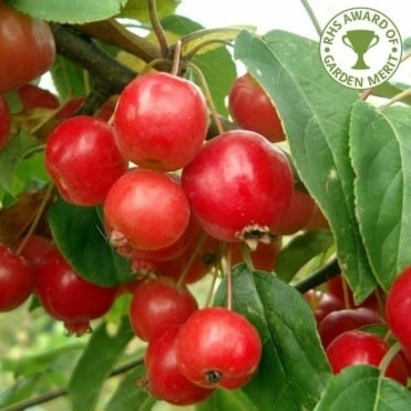 Malus x robusta 'Red Sentinel' tree