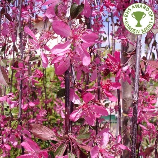 Malus Royal Beauty Tree