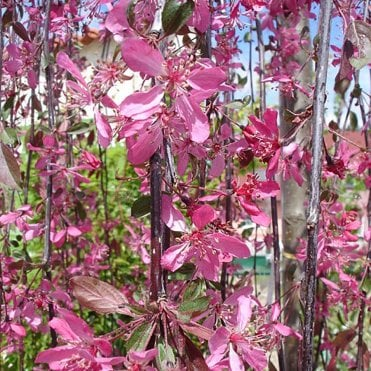 Small Weeping Trees For Small Gardens Ornamental Trees Ltd