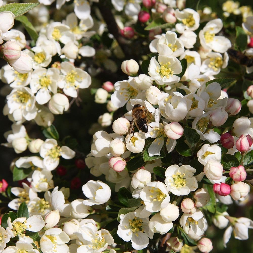 Malus Sargentii Tina White Flowering Dwarf Crab Apple Trees
