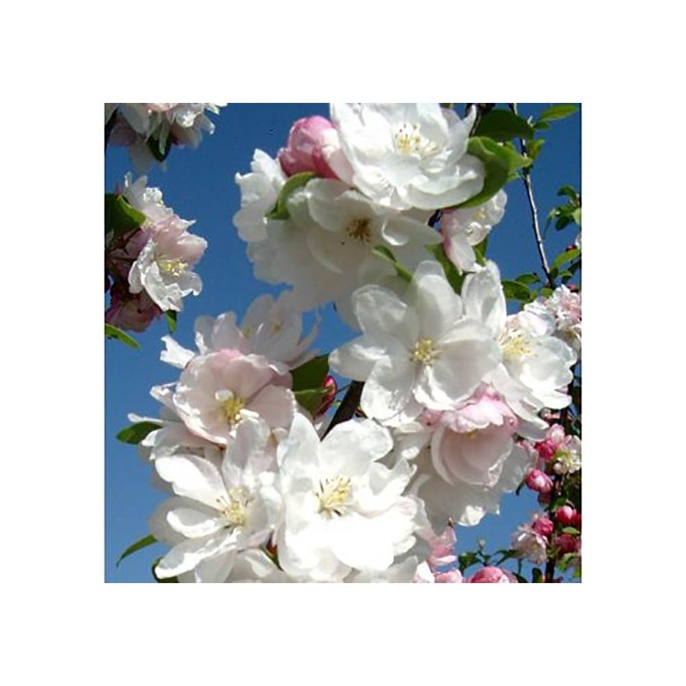 Malus Snowcloud Buy Double Flowering Crab Apple Trees
