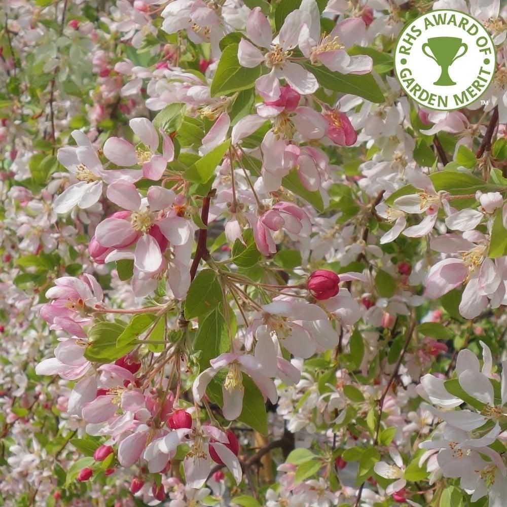Malus Sun Rival Buy Weeping Flowering Crab Apple Trees