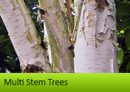 Multi Stem Trees