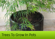 Trees To Grow In Pots