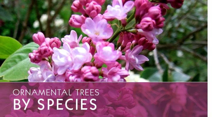 Ornamental Trees By Species