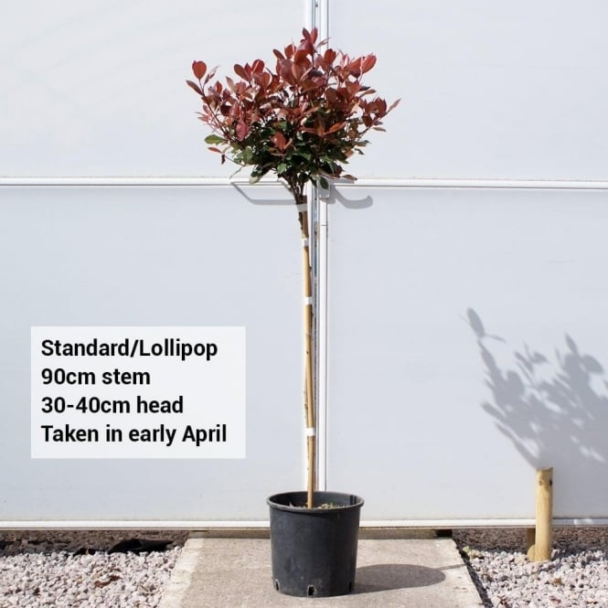 Photinia x fraseri 'Red Robin' Lollipop Tree