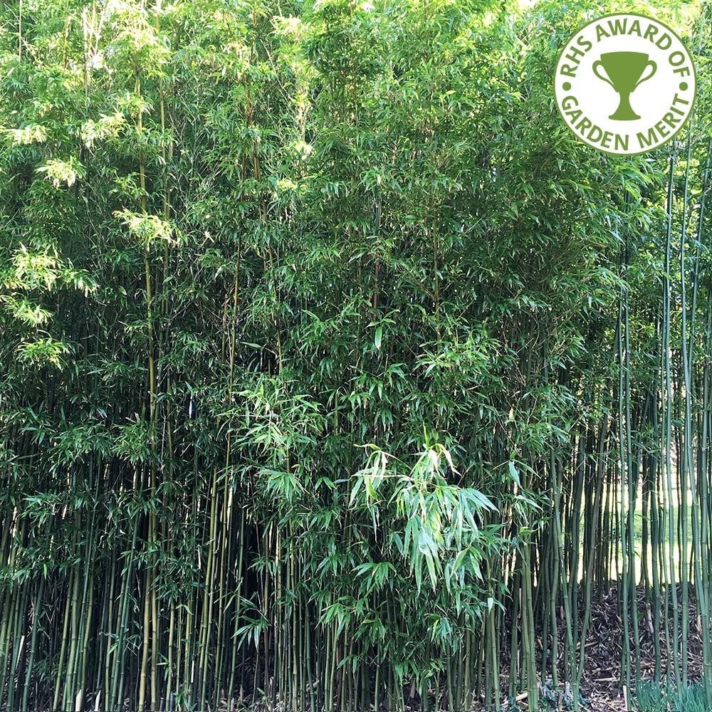 Phyllostachys Aurea Buy Golden Green Bamboo Plants