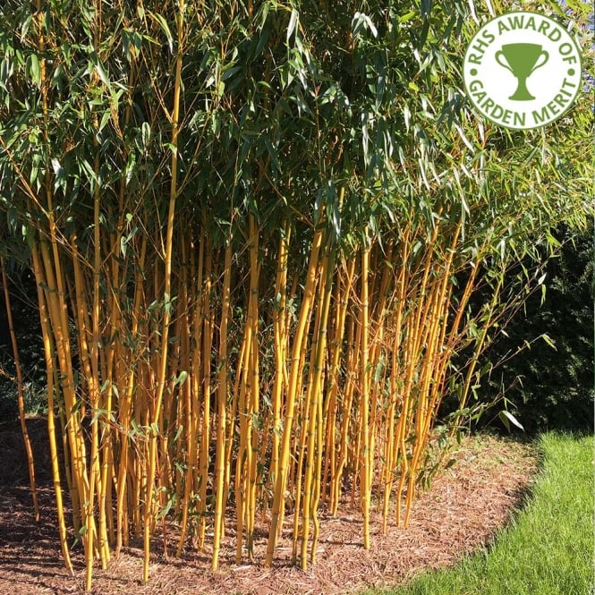Bamboo Pants Uk: Phyllostachys Aureosulcata Spectabilis
