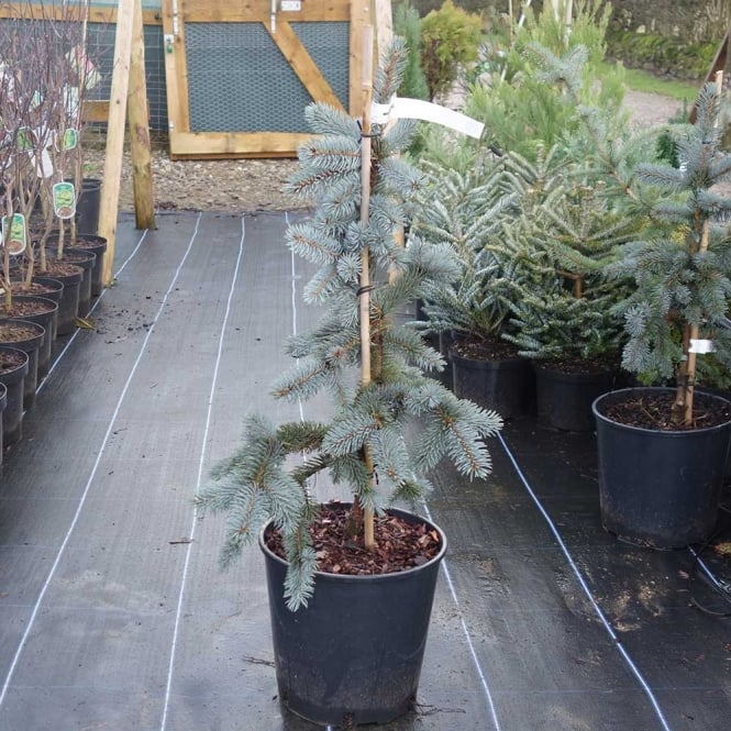 Picea pungens 'Edith' Conifer
