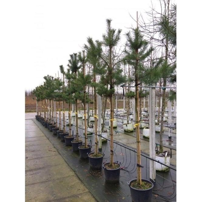 Pinus Sylvestris Conifer Scots Pine Trees For Sale