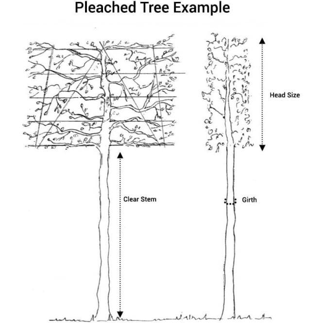 pleached tree diagram
