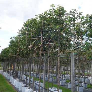 Flowering Ornamental Pear Trees Pyrus Ornamental Trees Ltd