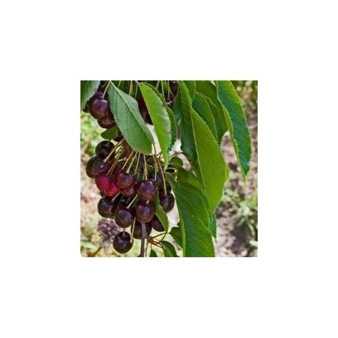 Sunburst cherry trees for sale buy black cherry trees for Cherry trees for sale