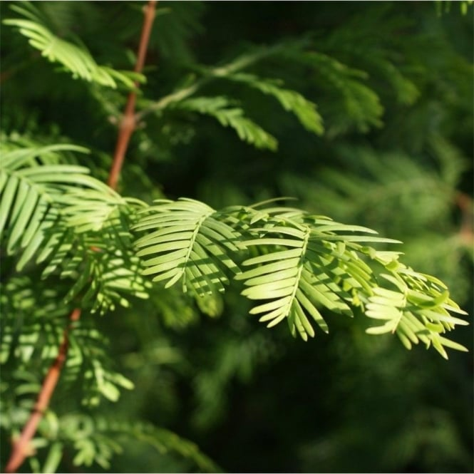 Metasequoia Glyptostroboides Tree