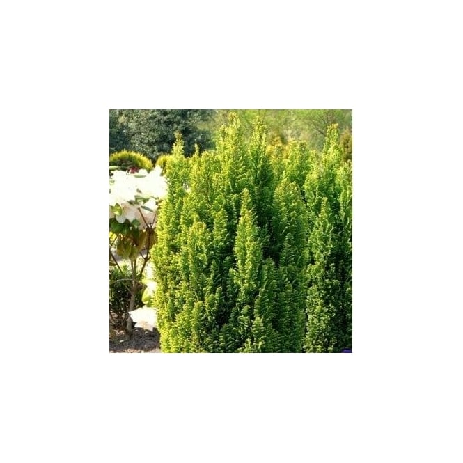 Chamaecyparis lawsoniana 'Ellwood's Gold' Conifer