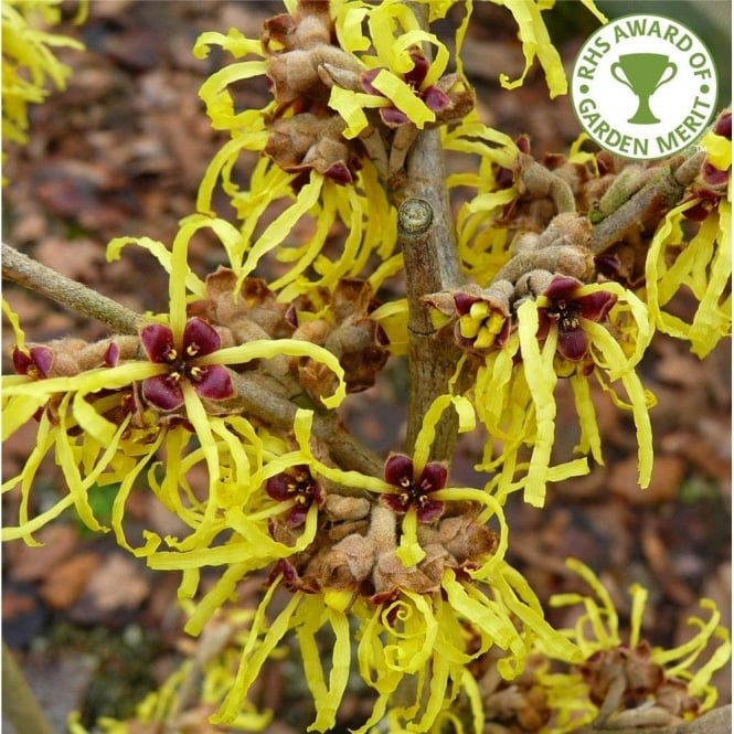 Hamamelis Intermedia Pallida Tree