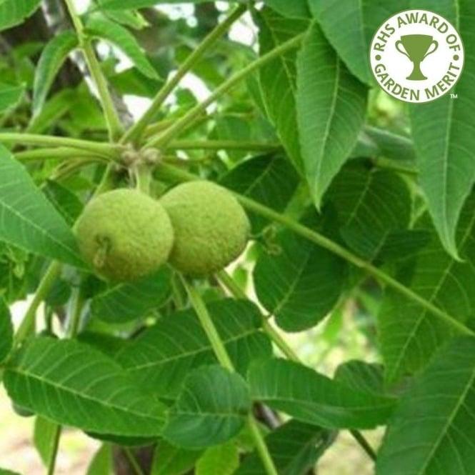 Juglans nigra Tree