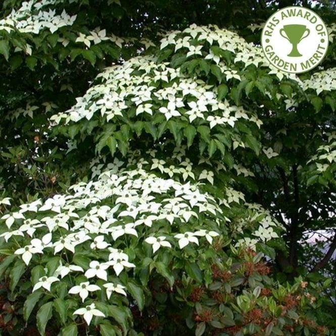 cornus kousa var chinensis white flowering chinese dogwood trees. Black Bedroom Furniture Sets. Home Design Ideas