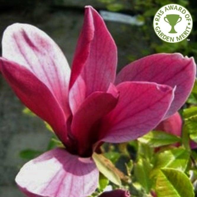 Magnolia liliiflora Nigra Tulip tree Tulip Bush Stock Photo ...