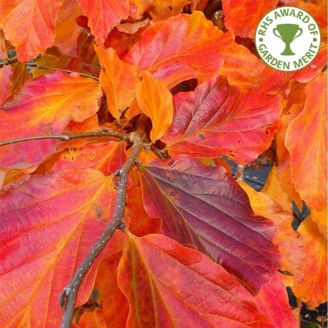 Parrotia Persica Buy Persian Ironwood Trees