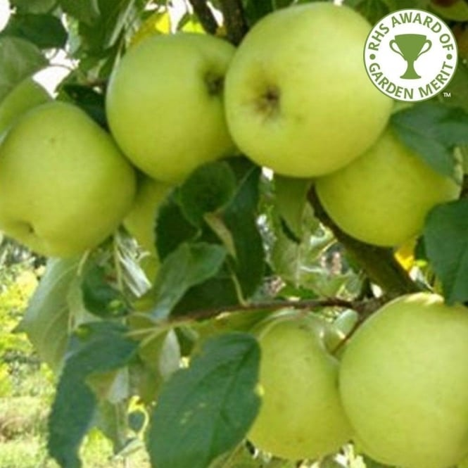 Greensleeves Apple Tree
