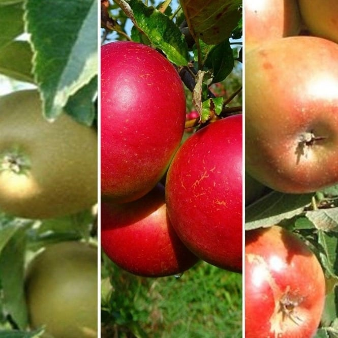 Family Apple Tree | Herefordshire Russet, Fiesta & Sunset Apple