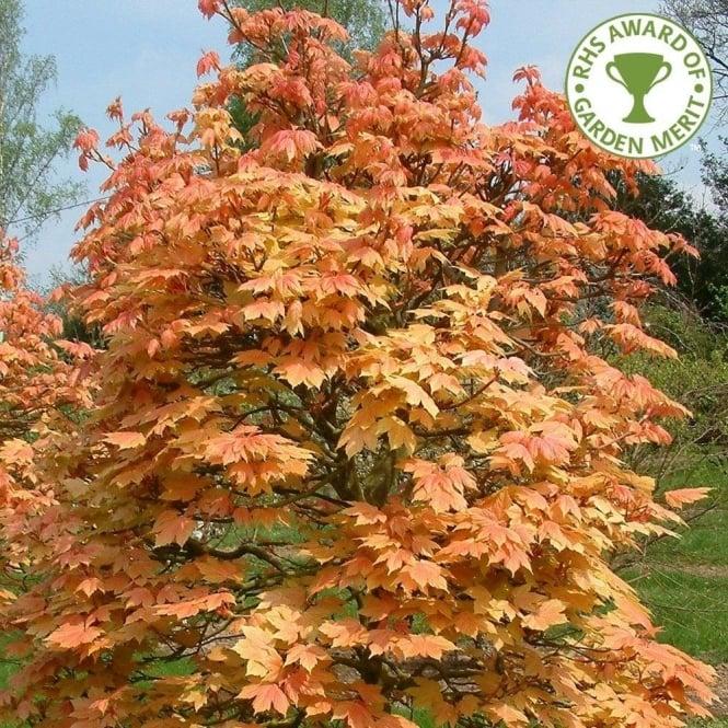Acer Pseudoplatanus Brilliantissimum Sycamore Trees For Sale
