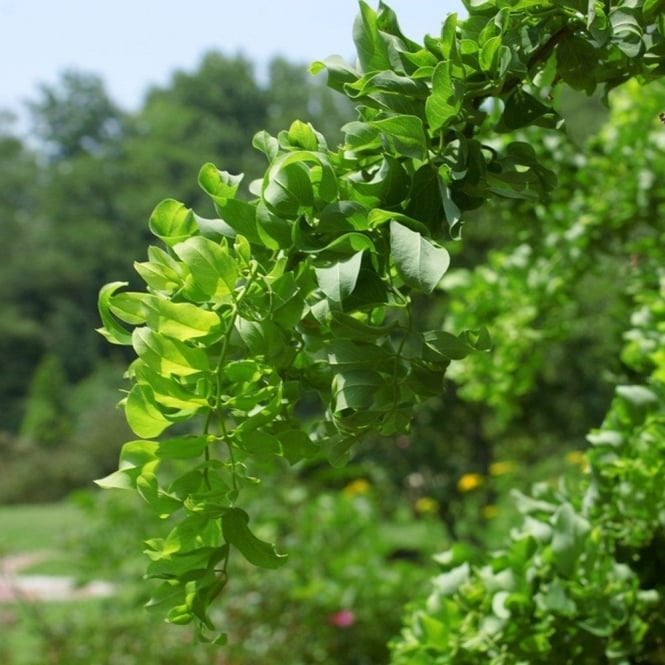 Robinia Pseudoacacia Lace Lady Tree