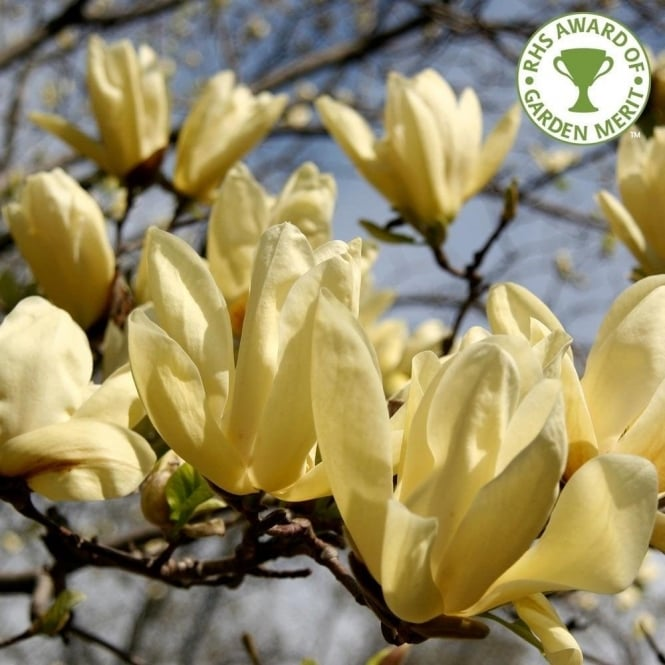 Magnolia x brooklynensis elizabeth yellow magnolia trees bushes magnolia x brooklynensis elizabeth mightylinksfo Gallery