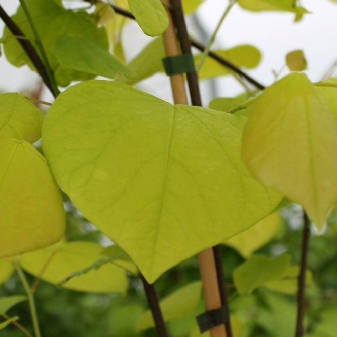 Cercis Canadensis Hearts of Gold Tree