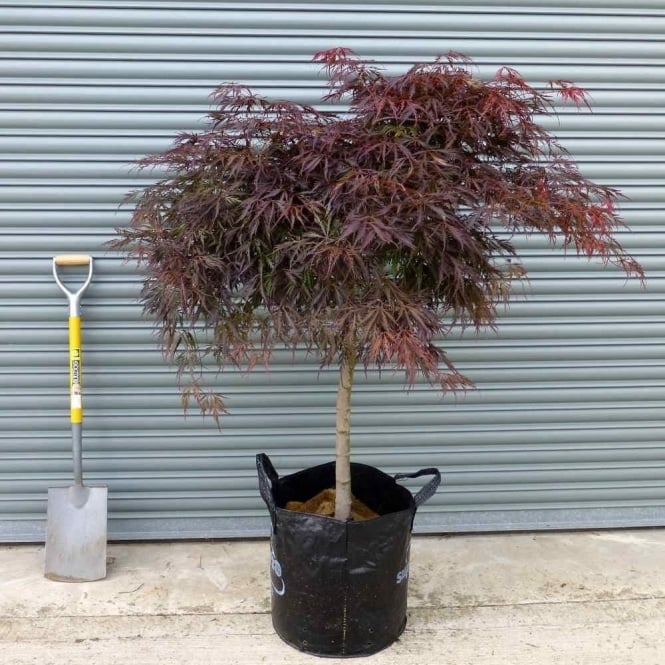 Mature Acer Palmatum Dissectum Crimson Princess Japanese Maple