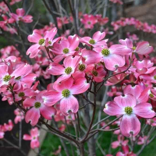 Cornus florida rubra buy pink flowering dogwood trees shrubs cornus florida rubra tree mightylinksfo