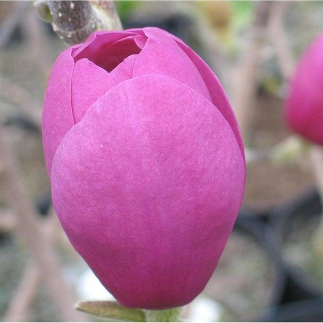 Magnolia Soulangeana Black Tulip Dark Purple Tulip Magnolia Trees