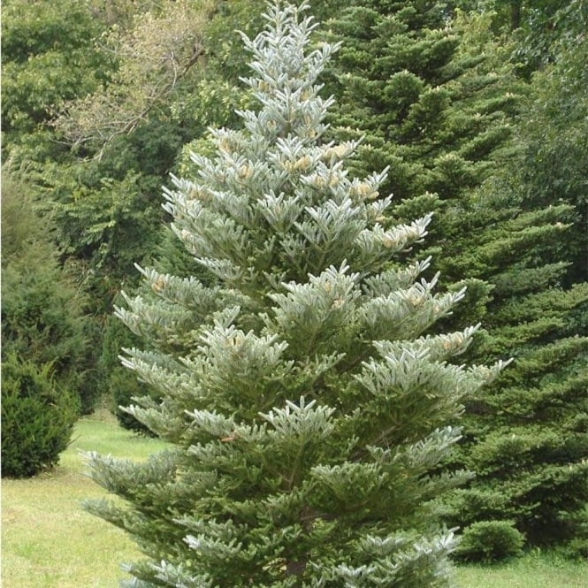 Abies Koreana Silberlocke Korean Fir Tree Ornamental
