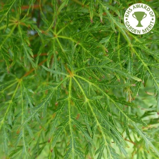 Acer Palmatum Dissectum Emerald Lace Buy Laceleaf Japanese Maples