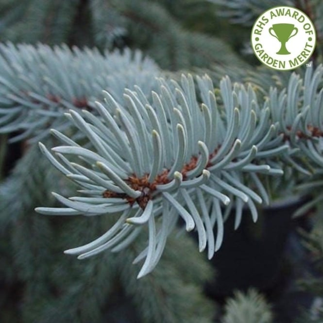 Picea pungens 'Hoopsii' Conifer